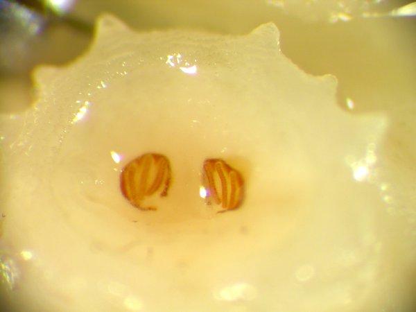 Maggot spiracles