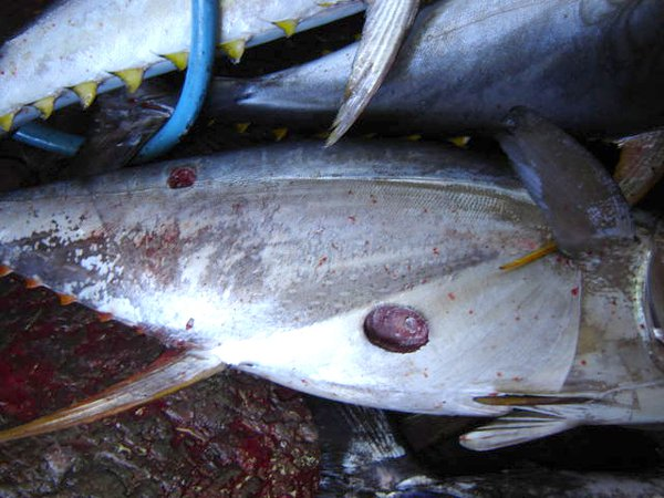 Cookiecutter Shark Yellowfin Tuna, Thunnus albacares