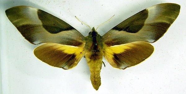 Coequosa triangularis