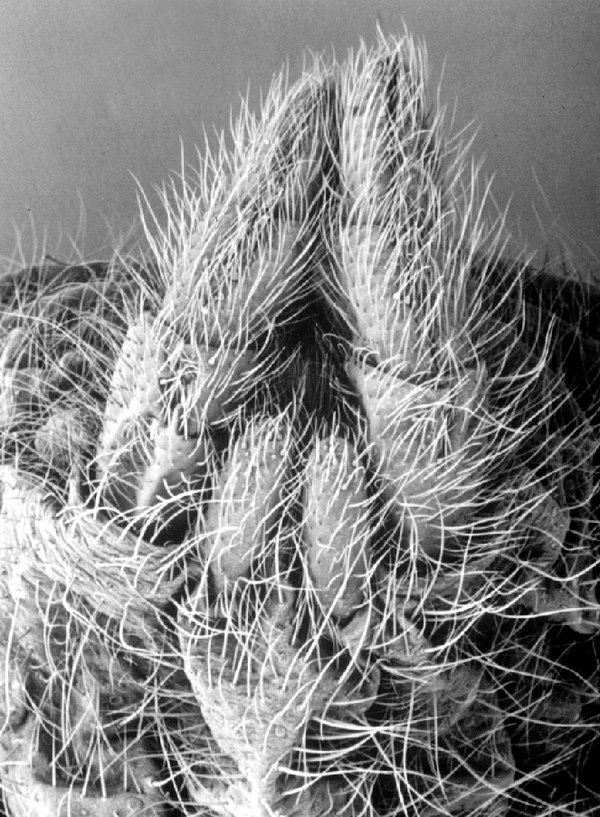 Funnel-web and Trapdoor hair spigots