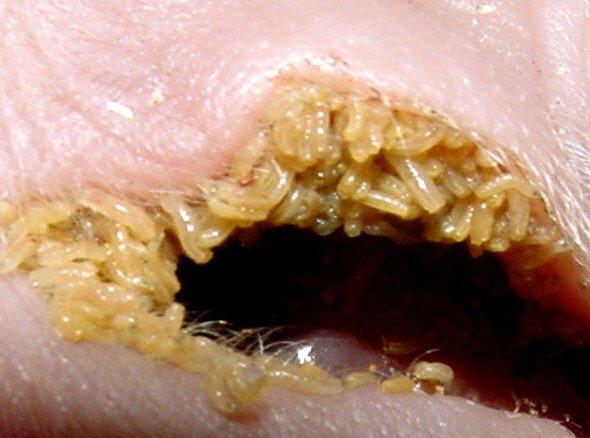 Fly larvae Maggots