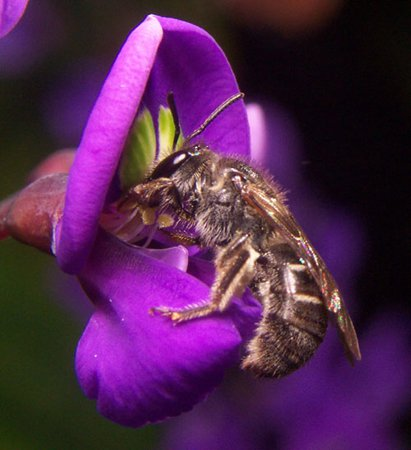 A bee resting on hidden anthers