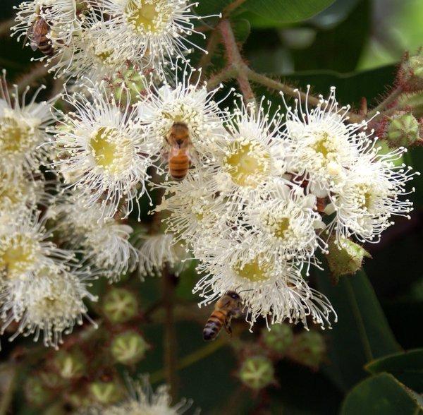 Angophora hispida and bee