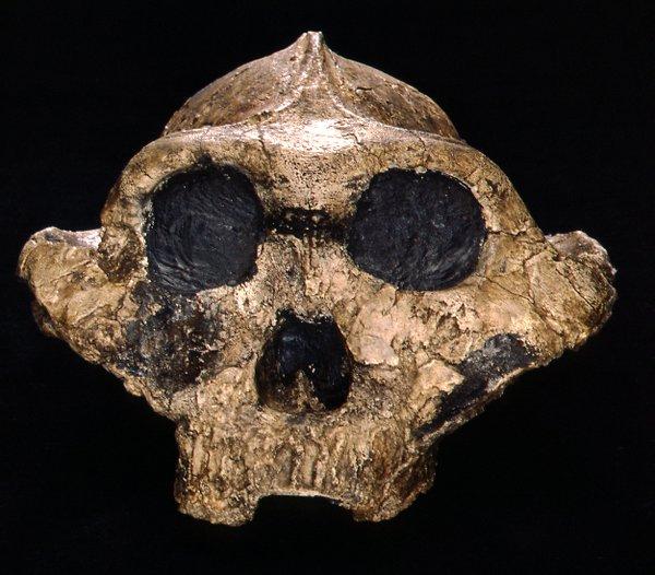 Skull cast of Paranthropus boisei