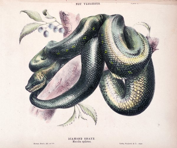 The snakes of Australia : an illustrated and descriptive catalog