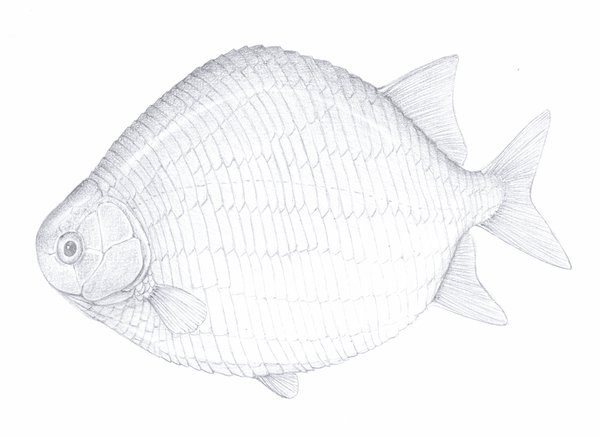Illustration of cleithrolepis granulata