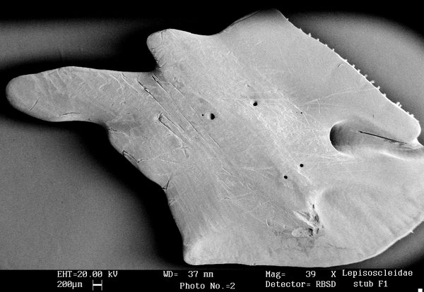 Sem image of the scale of a Florida Gar
