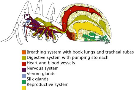 Diagram of Spiders insides