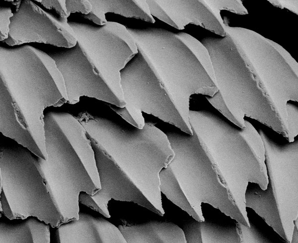 Scales of a White Shark, Carcharodon carcharias