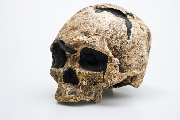Wadjak Skull Homo sapiens angled view