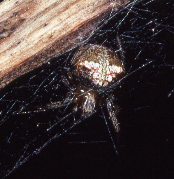A signal line spider, Metepeira sp.