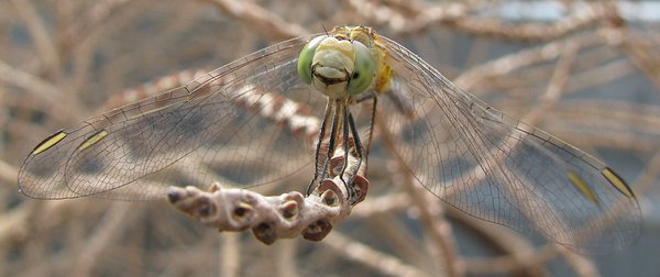 Smile! - Female Wandering Percher Dragonfly - Megan Beltramelli