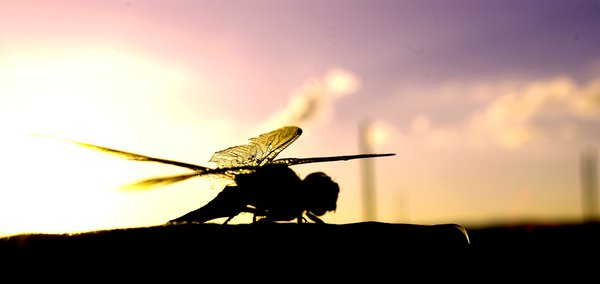The Dragonfly - Kristy Staatz
