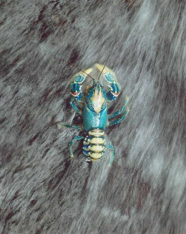 Blue Mountains Crayfish
