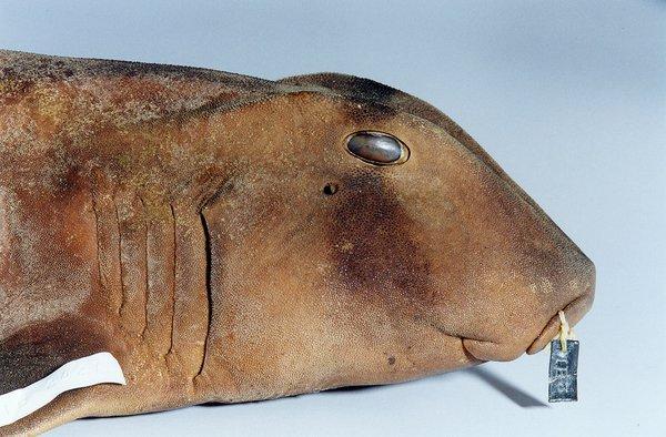 Port Jackson Shark, Heterodontus portusjacksoni