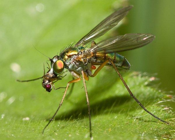 Long-legged Fly Eating a Fruitfly - Roz Batten