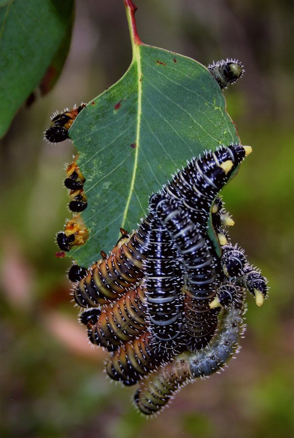 Feasting Caterpillars