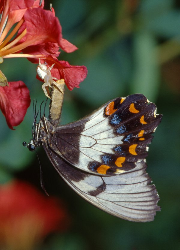 Jumping Spider and Orchard Swallowtail - Raoul Slater