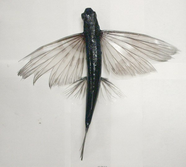 A flyingfish, Cheilopogon sp
