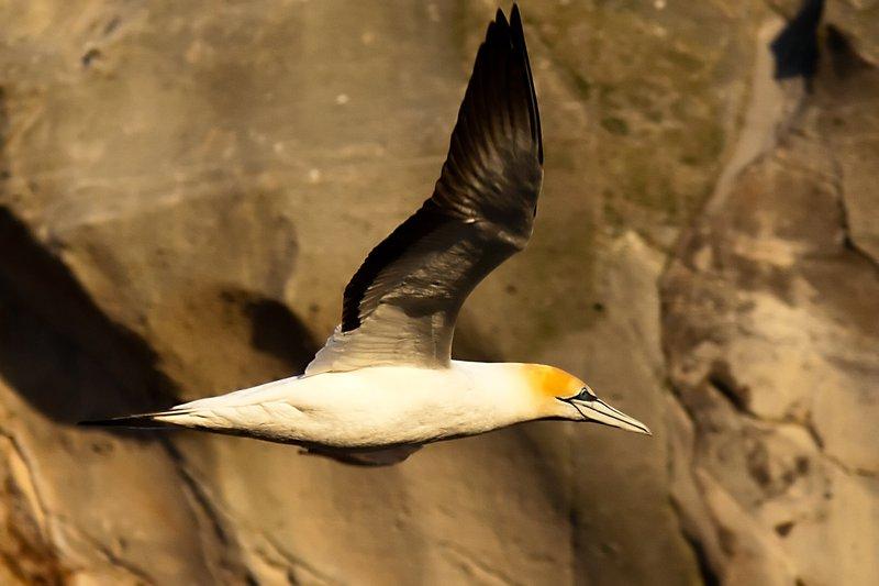 Australasian Gannet in flight