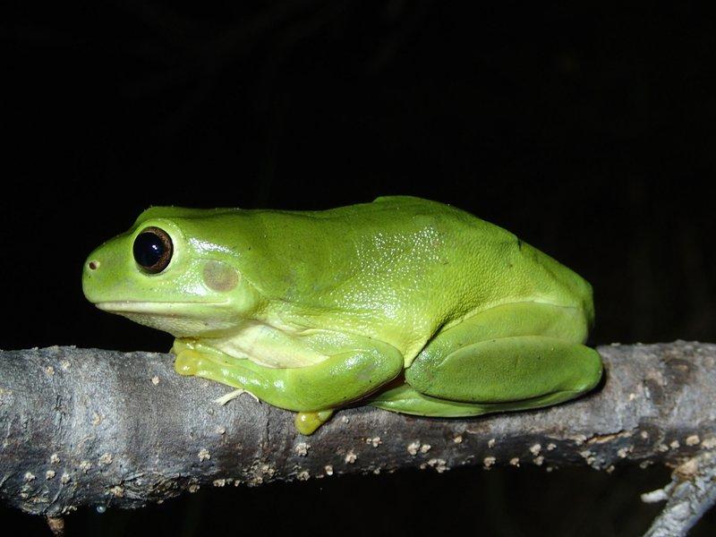 Green Tree Frog (Litoria caerulea)