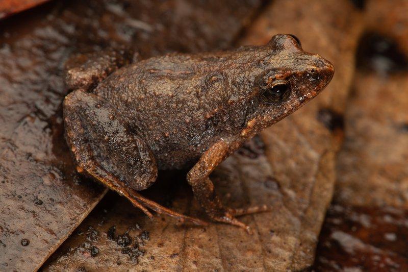 Common Eastern Frog (Crinia signifera)