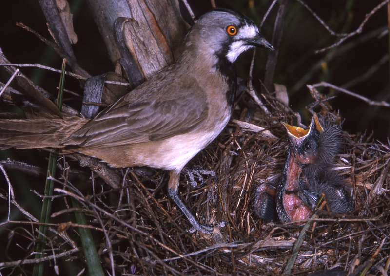 AMS405/142 Crested Bellbird