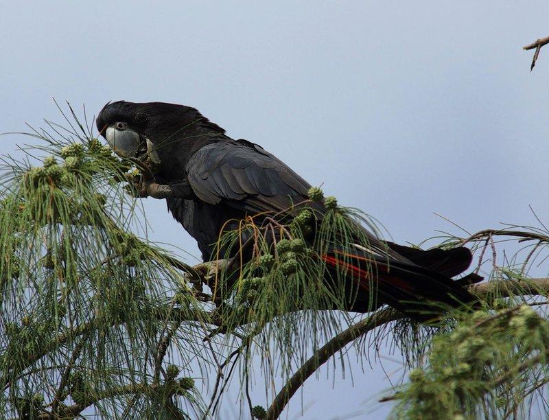 Redtail Black Cockatoo