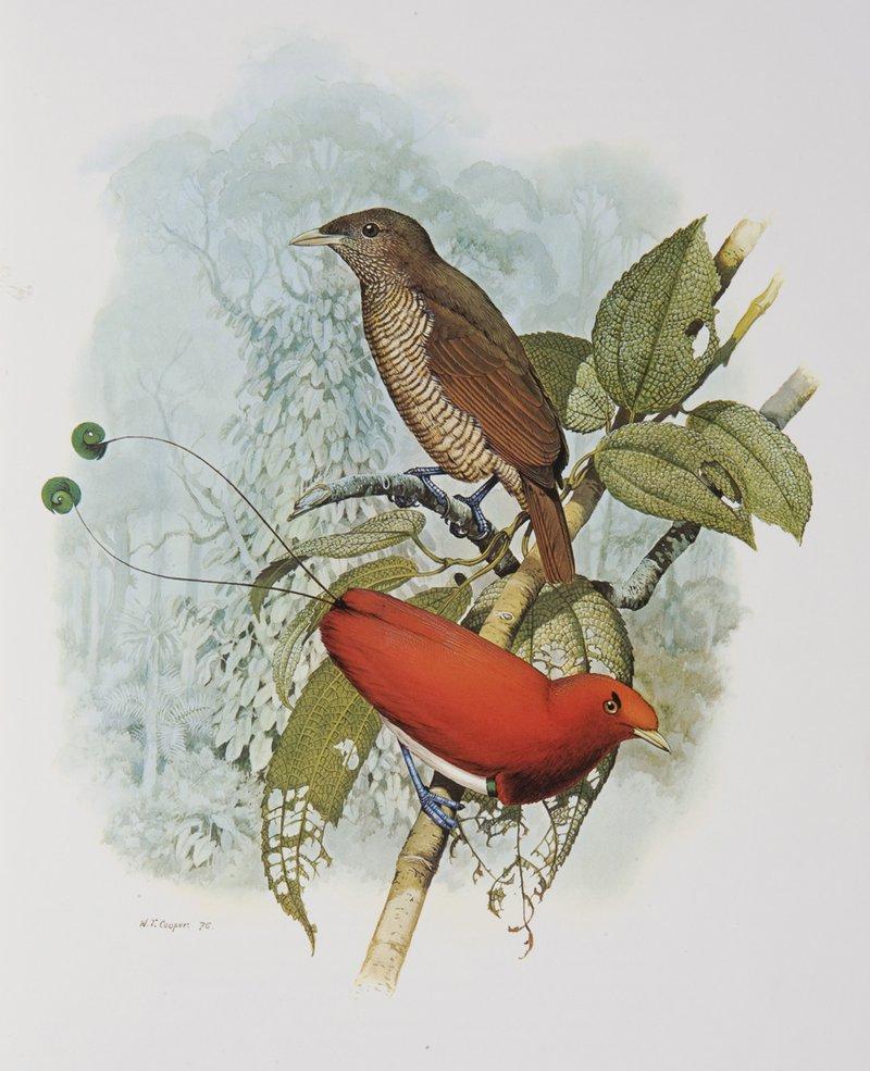 King Bird of Paradise