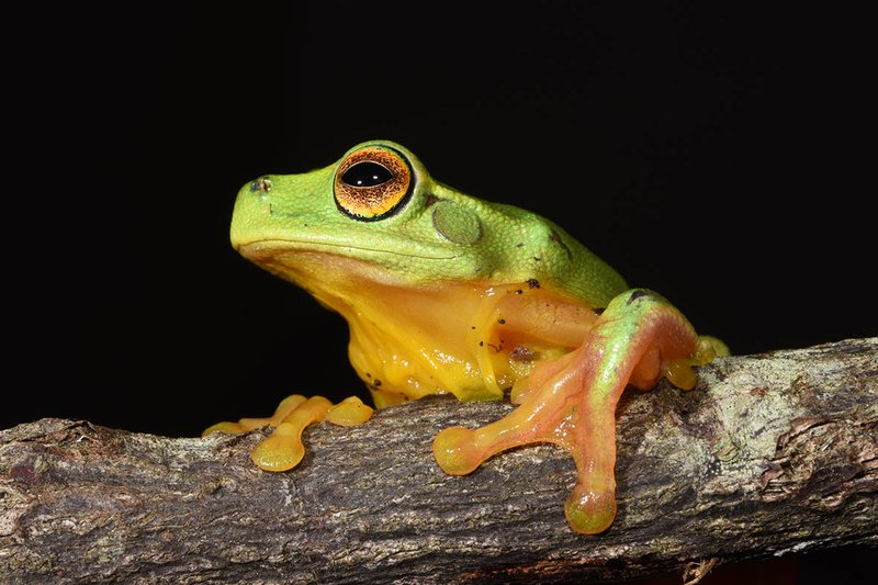 Litoria gracilenta, Border Ranges NP