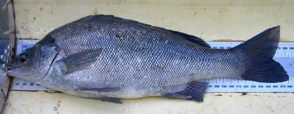 Silver Perch, Bidyanus bidyanus