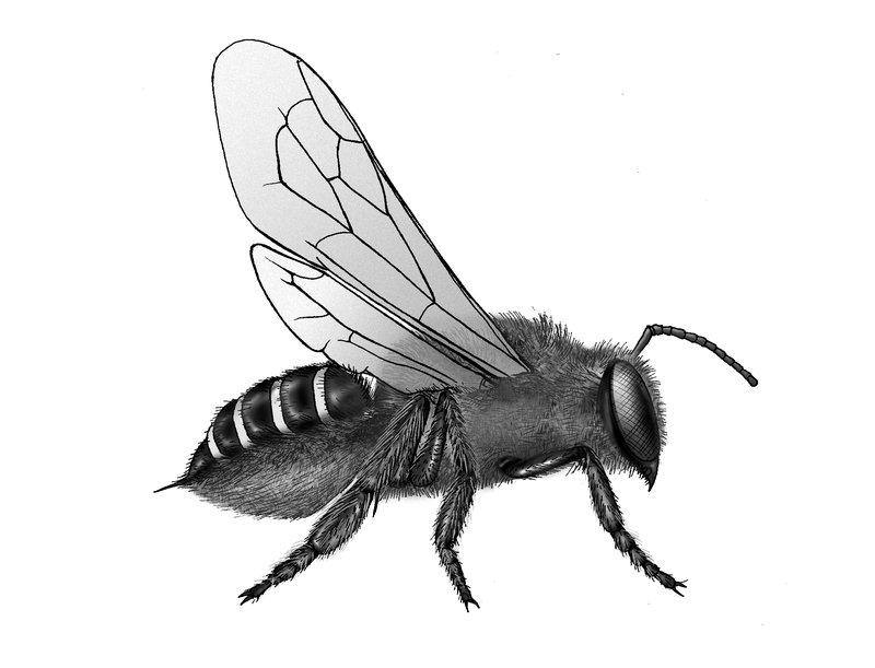 Order Hymenoptera, superfamily Apoidea