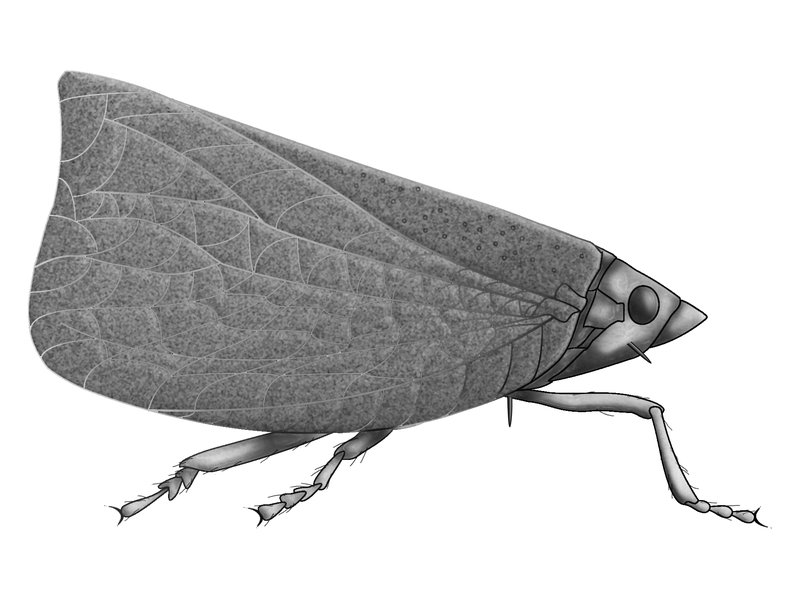 Order Hemiptera, suborder Auchenorrhyncha