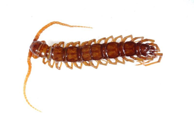 Paralamyctes grayi