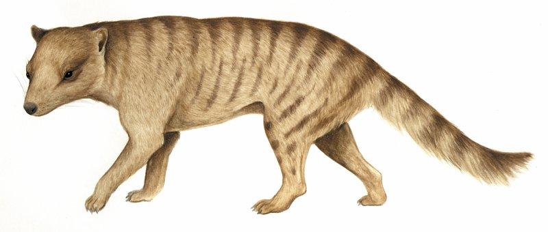 Nimbacinus