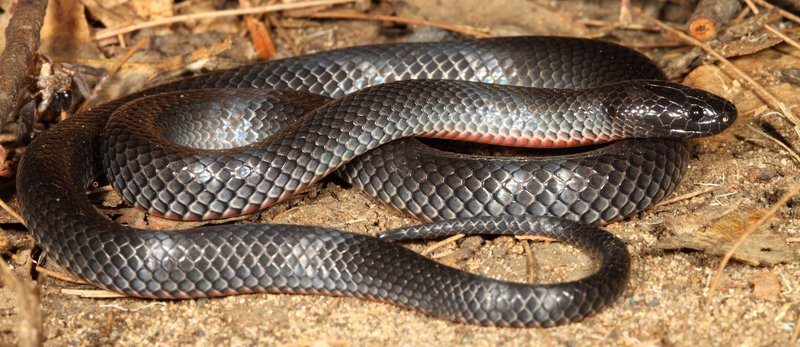 Eastern Small-eyed Snake - Cryptophis nigrescens