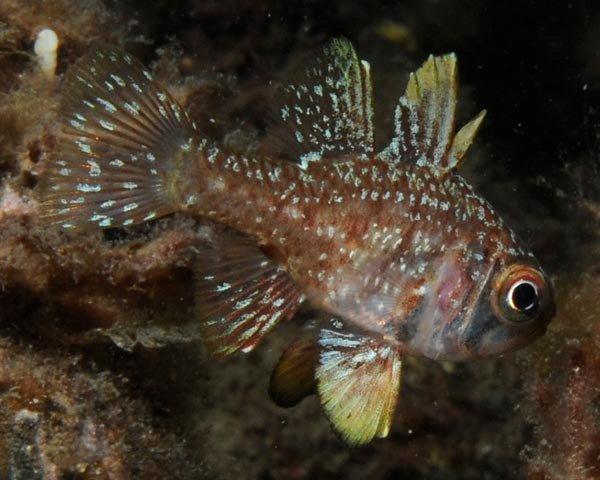 Southern Cardinalfish, Vincentia conspersa