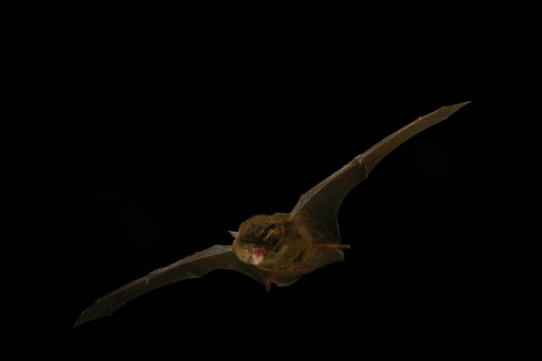 Southern Forest Bat,  Vespadelus regulus