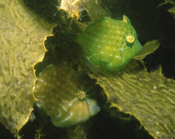 Southern Pygmy Leatherjacket, Brachaluteres jacksonianus