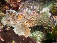 Southern Velvetfish,  Aploactisoma milesii