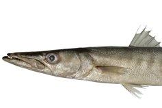 Pickhandle Barracuda, <i>Sphyraena jello </i>