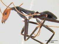 Spider ant, Leptomyrmex erythrocephalus