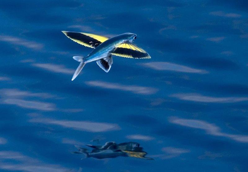 Spotfin Flyingfish, Cheilopogon furcatus