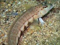Spotted Grubfish, Parapercis ramsayi