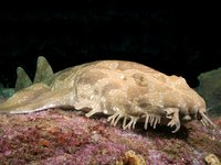 Spotted Wobbegong, Orectolobus maculatus