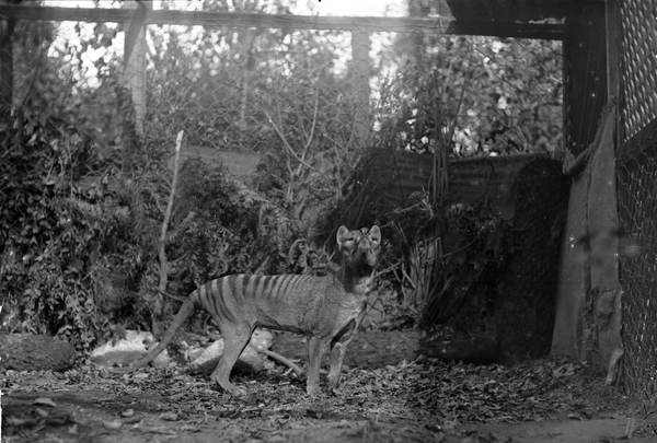 Staged Thylacine photograph