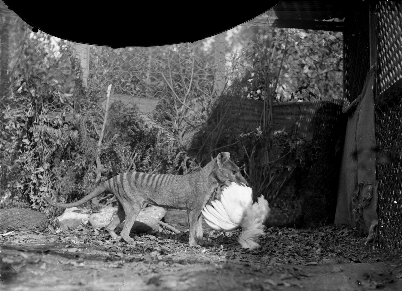 Staged Thylacine uncropped plate