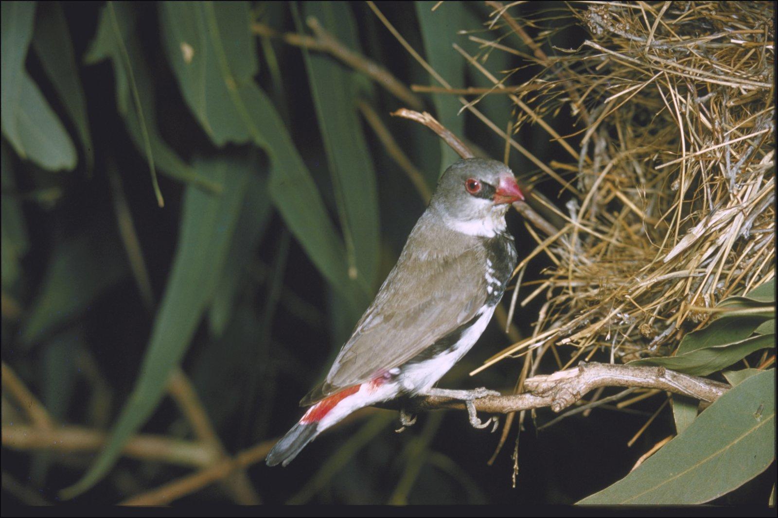 Stagonopleura guttata