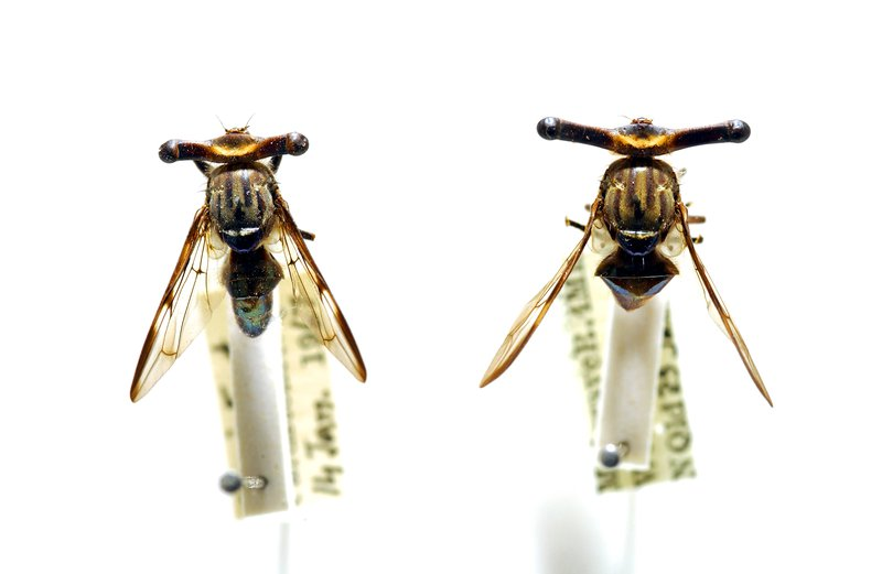 Stalk-eyed Signal Fly