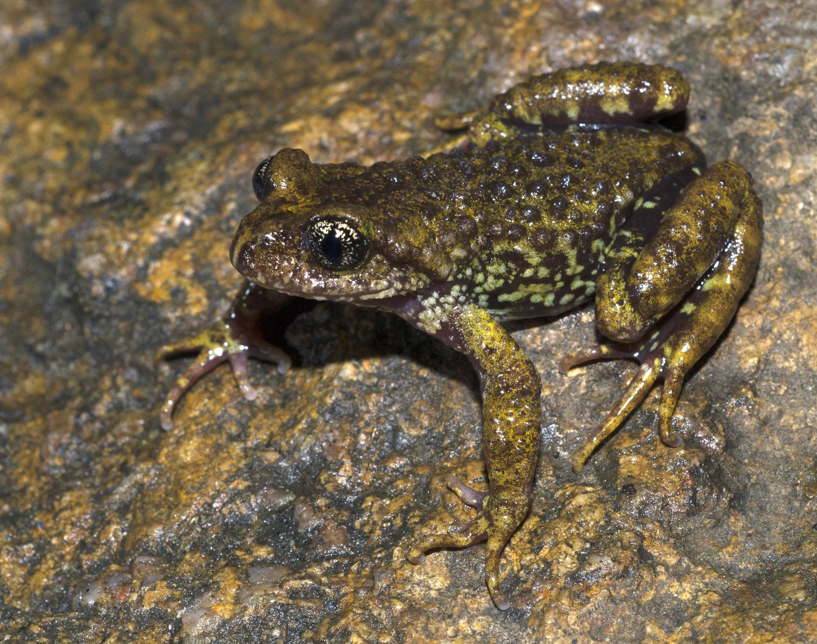 Sterling's Toothed Toad (Oreolalax sterlingae)